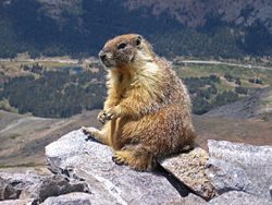 Yellow-bellied Marmot in Yosemite National Park