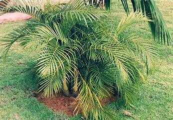 Areca (Dypsis lutescens) 2