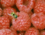 Wasps can be a nuisance on raspberries