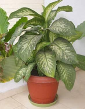 Ingrijirea plantelor for Planta ornamental blanca nieves