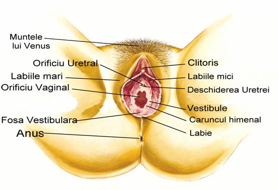Corpul uman organe sexuale