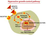 A drawing of a cell showing a hyperactive growth-control pathway.